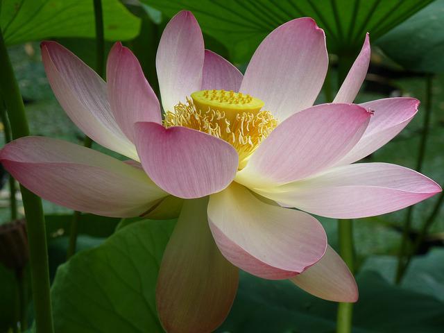 Lotosblüte - gefunden bei Pixabay